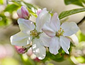 Obstbaumblüten (Nahaufnahme)