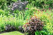 Flowering perennials, black elder and dark knotweed in flowerbed in summery garden