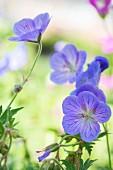 Purple-flowering geranium 'Gesien'