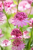 Several pink astrantia flowers