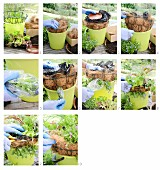 Instructions for lining a hanging basket with coir and planting with various plants