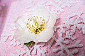Hellebore flower on top of ornamental snowflake motif