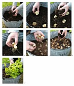 Instructions for planting bulbs in a zinc tub