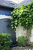 Luxuriant climbing plant over entrance to renovated rustic house