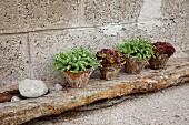 Houseleeks in vintage terracotta pots