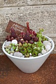Houseleeks, pebbles and welcome sign in white bowl