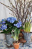 Blue hydrangea in metal pot with ornate edge and grape hyacinths in trophy-shaped pot in front of forsythia branches
