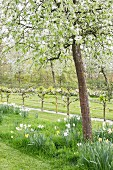 Flowering fruit trees and narcissus in orchard