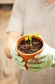 Gloved hands holding Moringa seedling in flowerpot