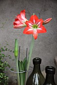 Amaryllis flower and bud in plant support