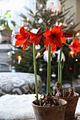 Red amaryllis in terracotta pots in festive living room