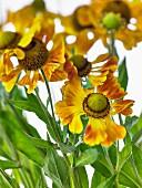 Many zinnia flowers