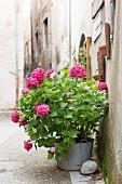 Pinke Hortensie in einem alten Eimer an mediterraner Hauswand