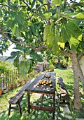 Prickly pears on rustic wooden table and benches under fig tree