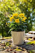 Potted yellow chrysanthemum in garden