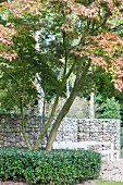 Green holly bush around maple tree in front of gabion wall and seating area
