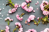 Pink cherry blossom and scattered petals on grey surface