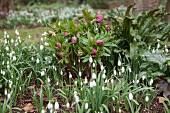 Snowdrops and pink hellebores in spring bed in garden