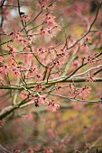 Branch of pink-flowering witch-hazel