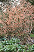 Witch-hazel tree with pale pink flowers in garden