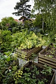 Vegetables in several raised beds in garden