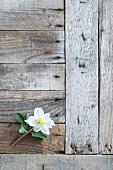 Blüte einer Christrose auf verwitterten Holzbrettern