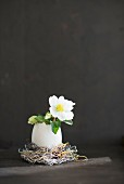 White hellebore flower in egg shell against black background