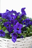 Blue violas planted in white basket
