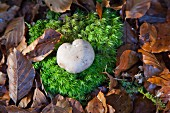 Heart-shaped mushroom growing in moss amongst autumn leaf litter