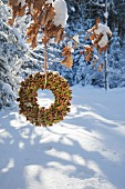Moss and beechnut wreath hung from oak branch in winter woodland