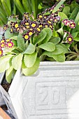 Flowering primulas planted in zinc container