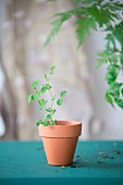 Delicate pea seedling in terracotta pot