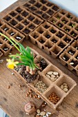 Several recycled paper seed trays, soil, seeds and flowering narcissus on rustic wooden table top