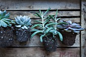 Various succulents with root balls on old wooden crate