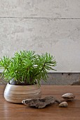 House plant in pot, pebbles and driftwood on wooden table