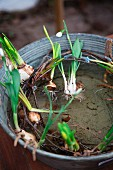 Flowering snowdrop plants and willow wreath in zinc tub