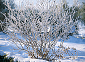 Bouquet in winter with hoarfrost, viburnum (snowball)