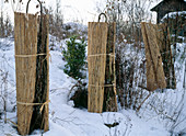 Protect roses in winter with straw mat from heavy frosts