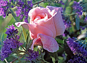 Rose 'Tendresse' (hybrid), Caryopteris x clandonensis