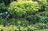 Catalpa bignoides (trumpet tree)
