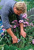 Cutting back Erigeron after flowering