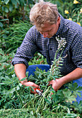 Cut back lupinus after flowering