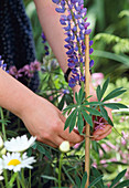 Tie lupins to the rod