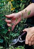 Cut back Aquilegia vulgaris