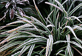 Hoarfrost on carex