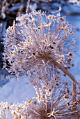 Allium karataviense in hoarfrost