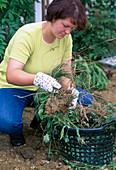 Create perennial flowerbed, soil preparation