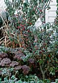Perennials 2nd year in hoarfrost
