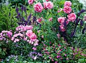 Shrub rose 'Gertrude Jekyll', Calamintha grandiflora