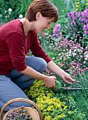 Gartenpflege: Abgeblühte Grasnelken abschneiden